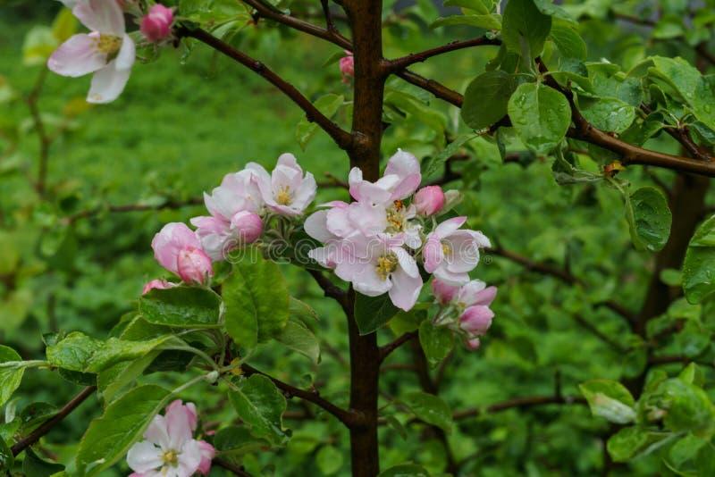 Härliga vit-rosa färger blommor av ett äppleträd på en filial i vår, efter regnet arkivfoton