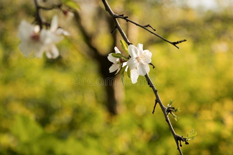 Härliga vita blommor av mandeln royaltyfria bilder