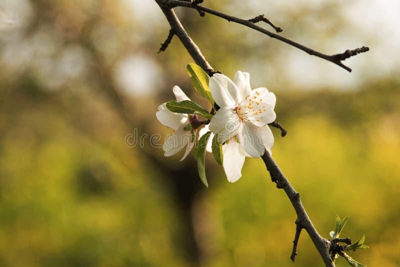 Härliga vita blommor av mandeln royaltyfria foton