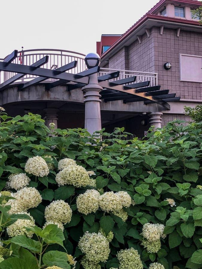 Härliga vita blommor med gröna sidor vid byggnad i stad parkerar royaltyfria foton