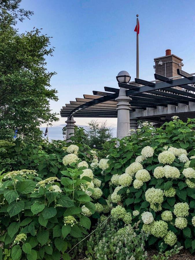 Härliga vita blommor med gröna sidor vid byggnad i stad parkerar royaltyfri foto