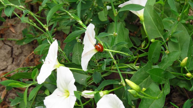 Härliga vita blommor med litet gå för nyckelpiga fotografering för bildbyråer