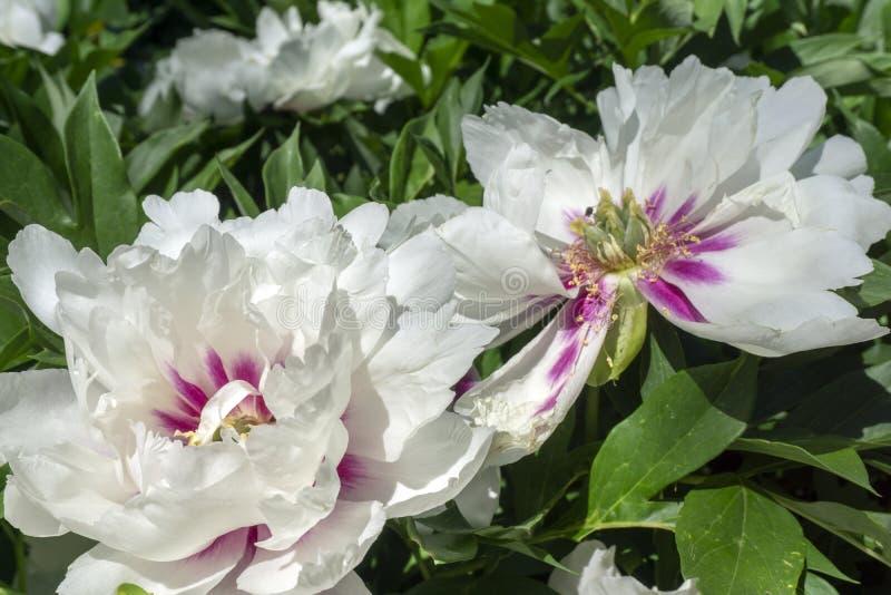 Härliga vita blommor med rosa mitt i botanisk trädgård royaltyfri fotografi