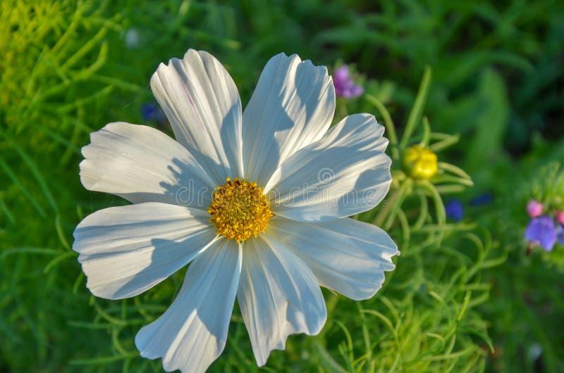 Härliga vita blommor som planteras i trädgården Trädgård med många vita blommor arkivfoton