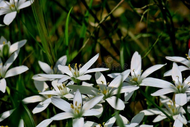 Härliga vita blommor stänger sig upp i form av stjärnor fotografering för bildbyråer