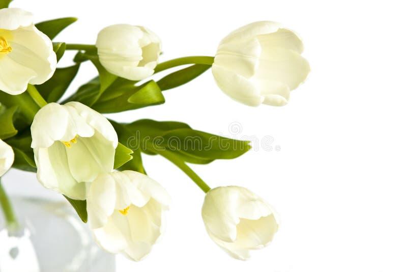 härliga vita buketttulpan arkivbild