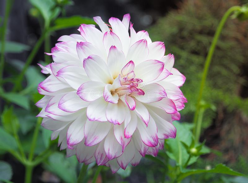 Härliga vita Dahlia Flower i trädgård royaltyfria bilder