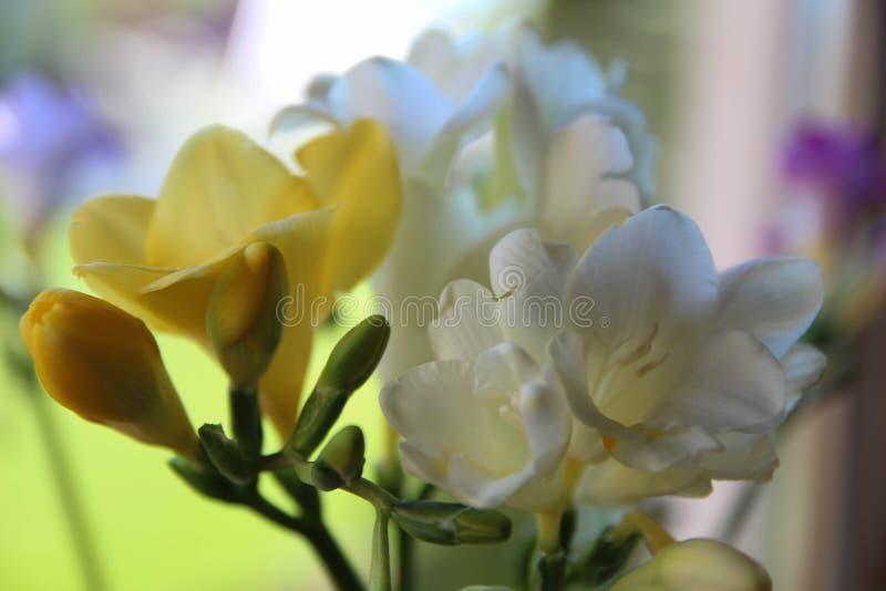 Härliga vita freesior Bukett av blommor royaltyfria bilder