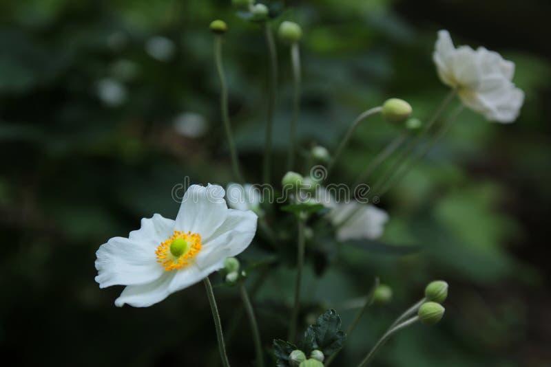 Härliga vita japanska anemonblommor royaltyfria foton