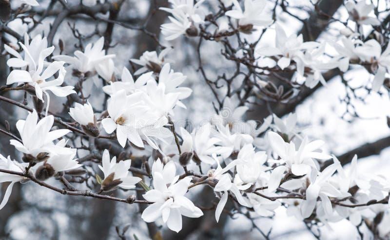 Härliga vita magnoliablommor blomstrar på magnoliaträd i trädgården, vårvintern Tid arkivbild