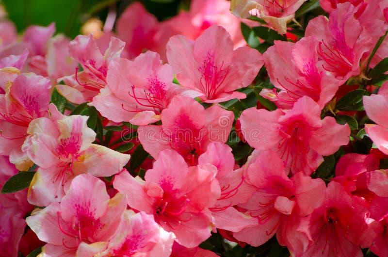 Härliga vita röda rosa Azalea Flowers i en vårsäsong på en botanisk trädgård arkivfoton