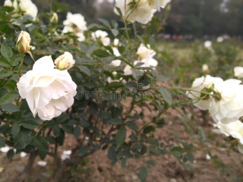 Härliga vita rosor i en parkera arkivbild