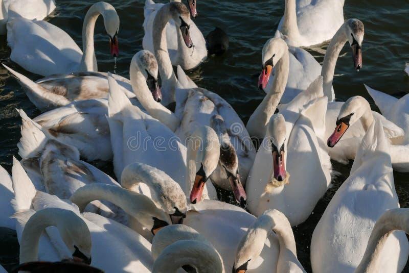 Härliga vita svanar som slåss för mat royaltyfria bilder