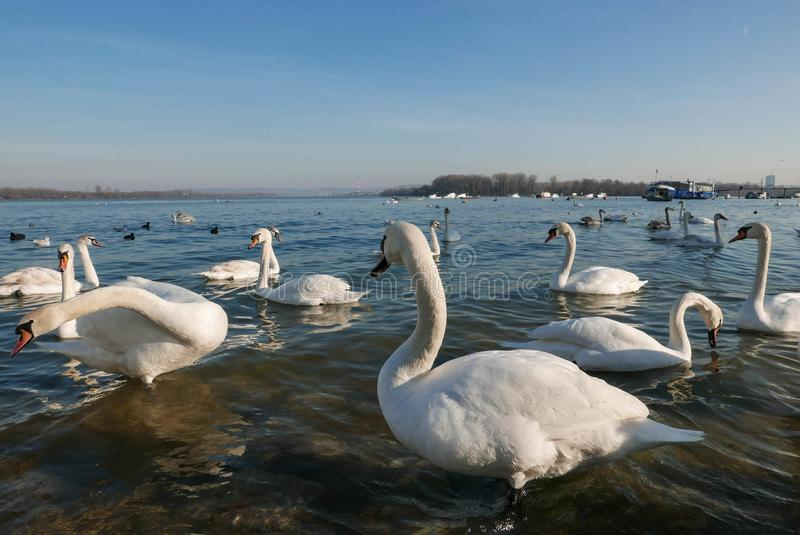 Härliga vita svanar som står i vatten och söker för mat arkivbild