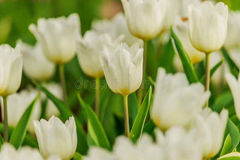 Härliga vita tulpan som blommar i trädgården arkivfoto