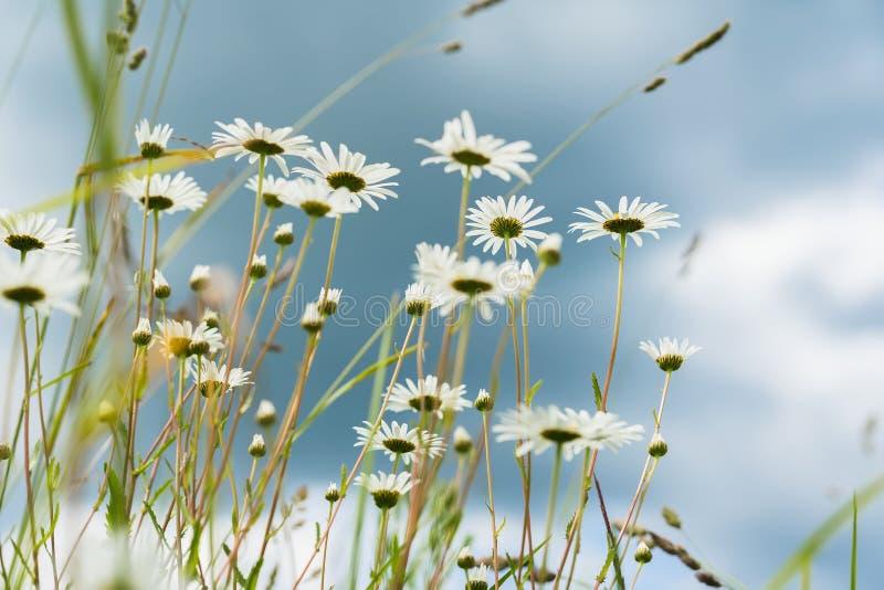 Härliga vita tusenskönor för närbild i vind Se till och med blommor in i mörker - blå himmel med regniga moln Sommardag in royaltyfri fotografi