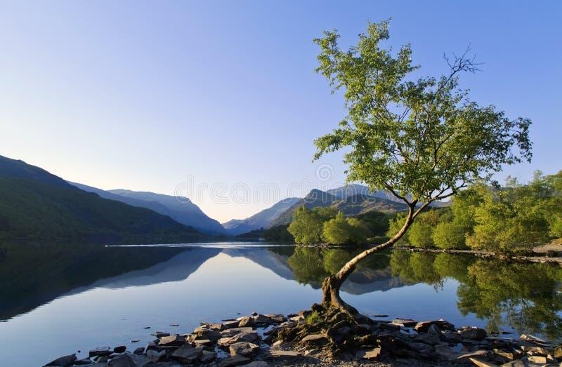 Härliga walesiska berg reflekterade i lugna vatten av sjön Llyn Padarn på det ensamma trädet Llan Beris Wales arkivbild