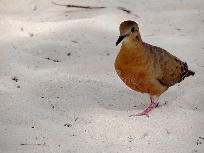 Härliga Zenaida Dove, St Thomas, USA Jungfruöarna royaltyfria foton