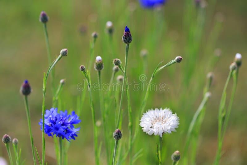 Härligt ängfält med blåa lösa blommor och vita blåklinter royaltyfri fotografi