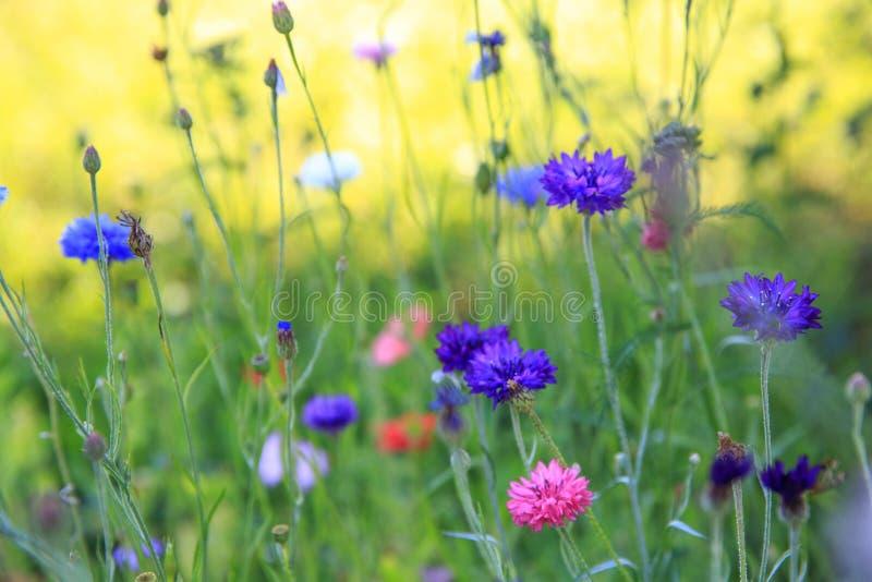 Härligt ängfält med lösa blommor Vårvildblommacloseup bakgrund suddighetdde den skyddande pillen för maskeringen för hälsa för om arkivbilder