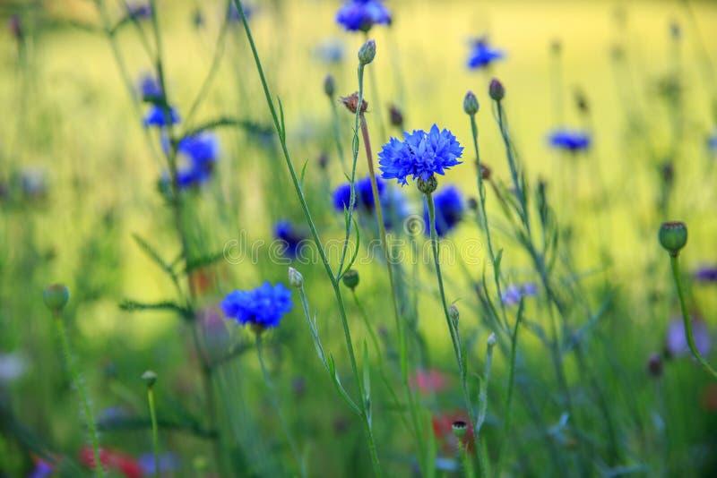 Härligt ängfält med lösa blommor Vårvildblommacloseup bakgrund suddighetdde den skyddande pillen för maskeringen för hälsa för om arkivfoto