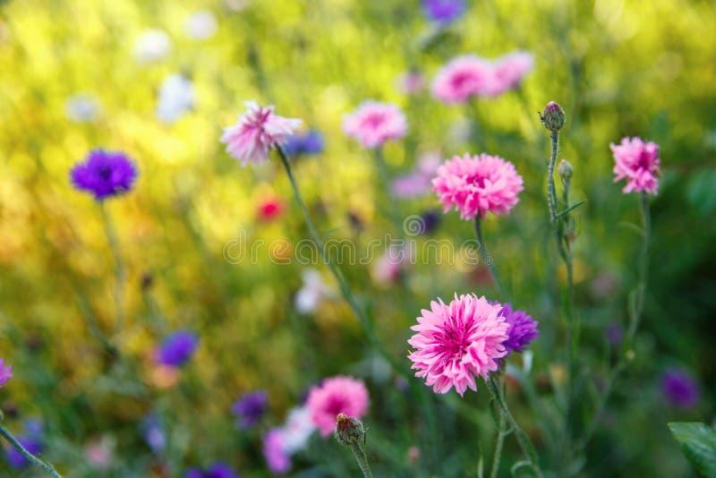 Härligt ängfält med lösa blommor Vårvildblommacloseup bakgrund suddighetdde den skyddande pillen för maskeringen för hälsa för om royaltyfri foto