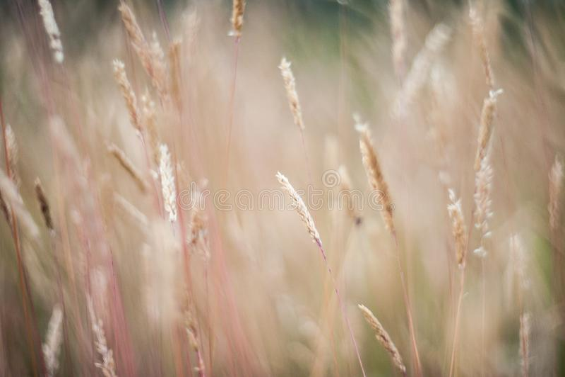 Härligt åkerbrukt solnedgånglandskap ?ron av det guld- veteslutet upp Lantlig plats under solljus Sommarbakgrund av att mogna arkivfoton