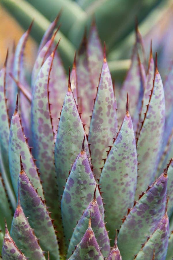 Härligt abstrakt lodlinjeskott av en färgrik suckulent kaktusväxt arkivbilder