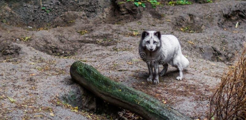 Härligt anseende för arktisk räv i sanden, djur från nordpolen royaltyfria foton