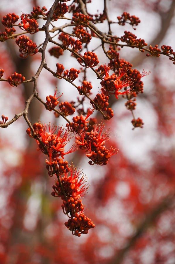 Härligt apablommaträd eller brand som är pakistanska i Thailand arkivbild