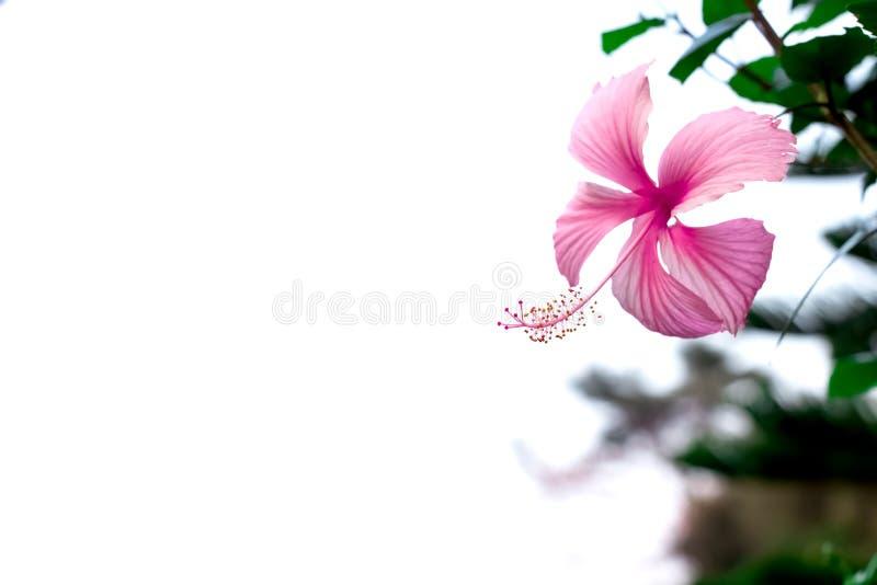 Härligt av den rosa hibiskusblomman i trädgård på vit bakgrund arkivfoto
