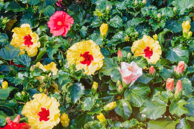 Härligt av färgrik trädgård för hibiskusblommor offentligt royaltyfria bilder