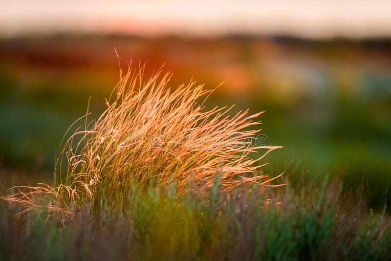 Härligt av fjäderpennisetum- eller beskickninggrässlut upp funktionsläge med tillbaka ljus av soluppgång i morgonen, abstrakt bak arkivfoton