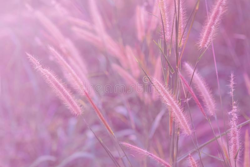 Härligt av gräsblomman i pastellfärgad mjuk färg i suddigt för bakgrund arkivfoton
