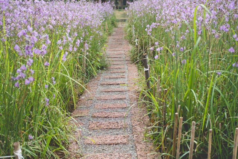 Härligt av purpurfärgad blommaträdgård med stenbana på blomman royaltyfri bild