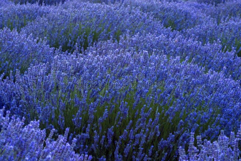 Härligt avbilda av lavendel sätter in Lavendelfält i Kuyucak, I fotografering för bildbyråer