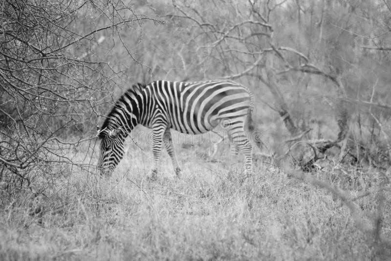 Härligt avlägset skott av en lös sebra som betar gräset i Hoedspruit, Sydafrika royaltyfri fotografi