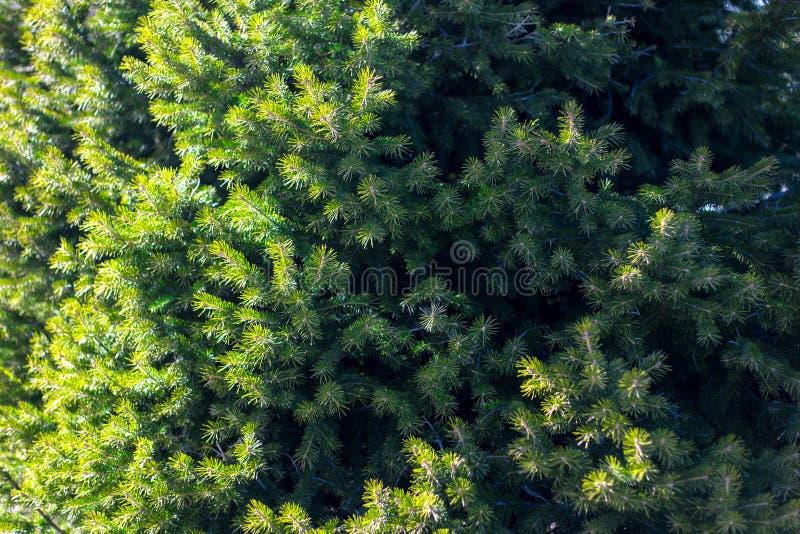 Härligt barrträd på ny naturlig skogbakgrund royaltyfri foto