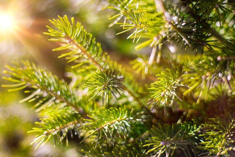 Härligt barrträd på ny naturlig skogbakgrund arkivbild