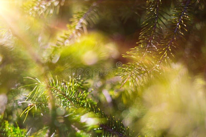 Härligt barrträd på ny naturlig skogbakgrund arkivfoton