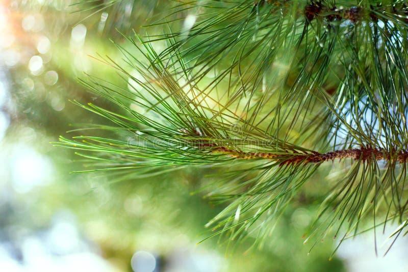 Härligt barrträd på ny naturlig skogbakgrund royaltyfria bilder