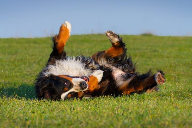 Härligt bernese ligga för hund arkivfoto