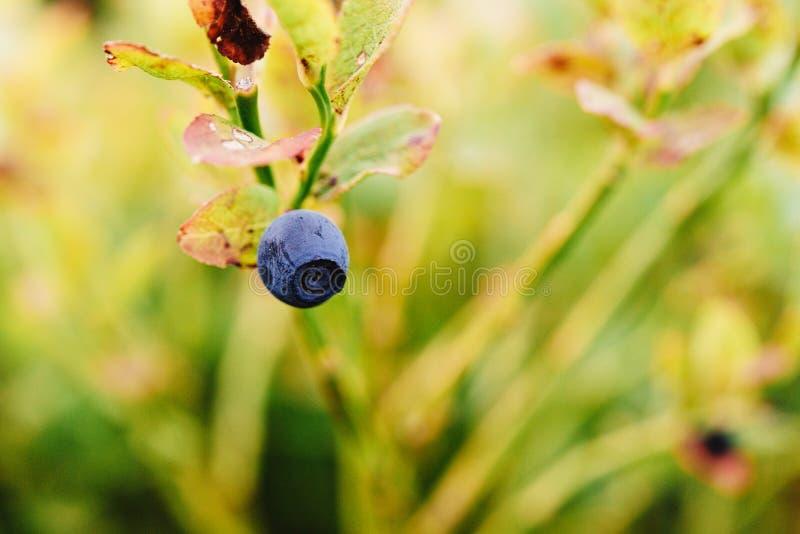 Härligt blåbärblåbär på en buske på berg, slut upp, s royaltyfri fotografi