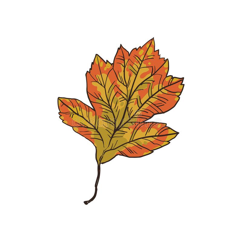 Härligt blad av hagtorn, med medicinsk rekvisita, en artisanal växt vektor illustrationer