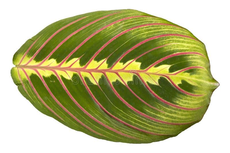 Härligt blad av houseplantMaranta den Tricolor closeupen arkivfoton