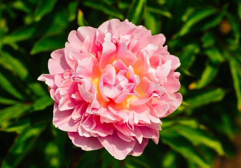 Härligt blekt - rosa pionblommaslut upp att växa i trädgården royaltyfri fotografi