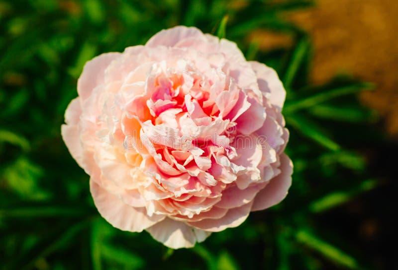 Härligt blekt - rosa pionblommaslut upp att växa i trädgården royaltyfri foto