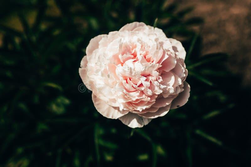 Härligt blekt - rosa pionblommaslut upp att växa i trädgården Urblekt toning royaltyfria foton