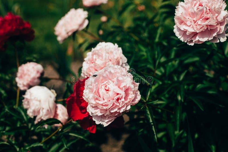Härligt blekt - rosa pionblommor som är nära upp att växa i trädgården Urblekta f?rger arkivfoto