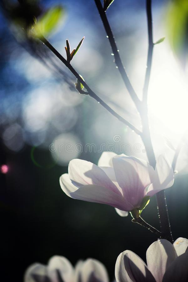 Härligt blomma, blommande träd - härlig blomstrad magnoliablommafilial i vår royaltyfri bild